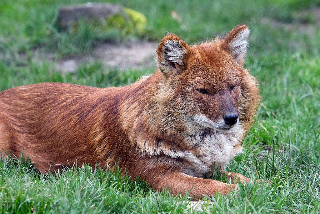 Asiatic wild dogs / Dhole