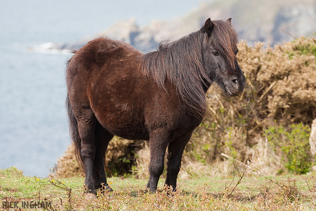 Wild Horse in Cornwall