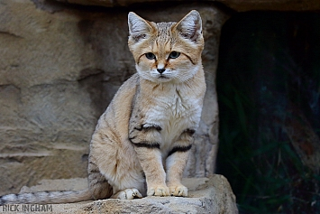 Arabian Sand Cat
