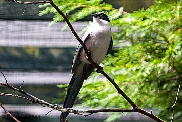 Asian Azure-winged magpie