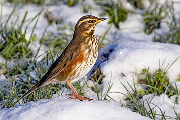 Thrushes/Chats