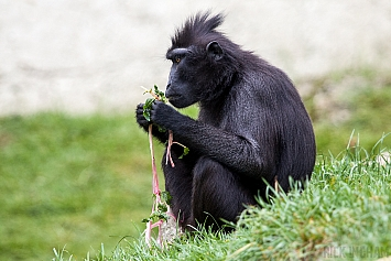 Sulawesi Black Crested Macaque