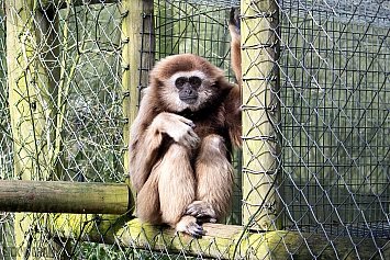 Black and Gold Howler Monkey