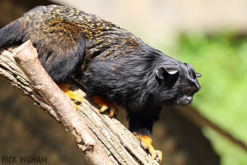 Red Footed Tamarin