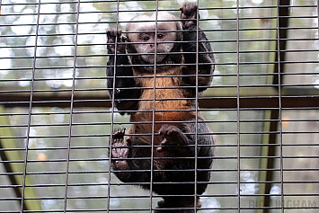 Yellow Breasted Capuchin