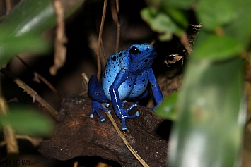 Dyeing Blue Arrow Poison Frog