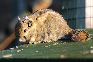 Tamiops Squirrel