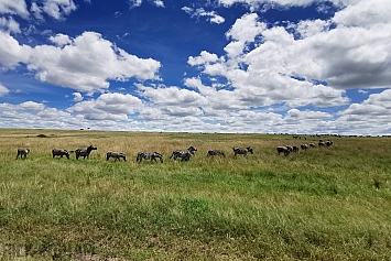 Burchell's Zebra Migration