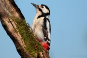 Woodpeckers in Britain